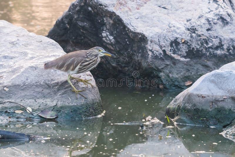 Jeune héron indien d'étang étant perché sur la grande roche dans un étang images stock