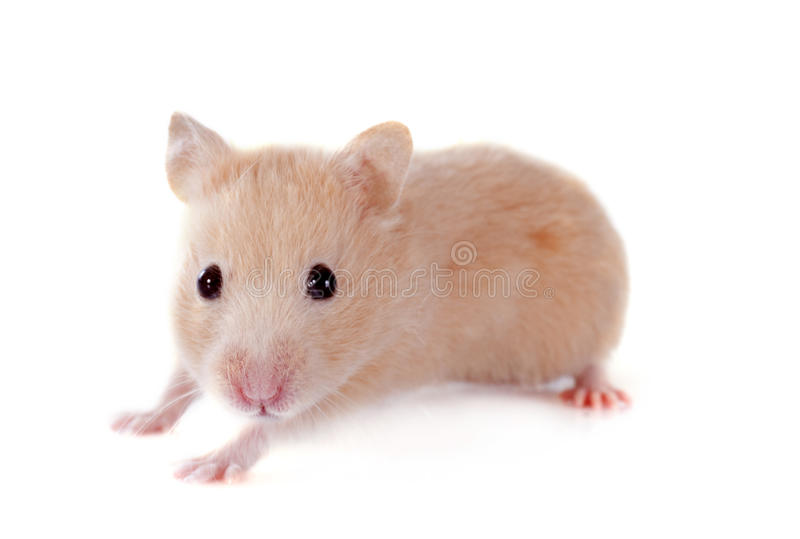 Jeune hamster photo stock