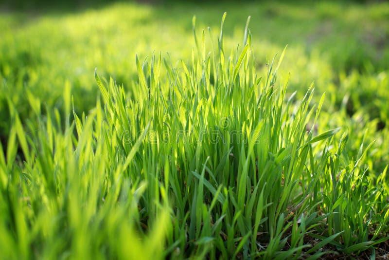 Jeune herbe de ressort s'élevant de l'engrais images libres de droits