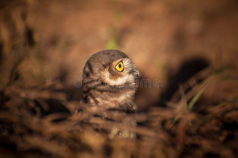 Jeune hibou photo libre de droits