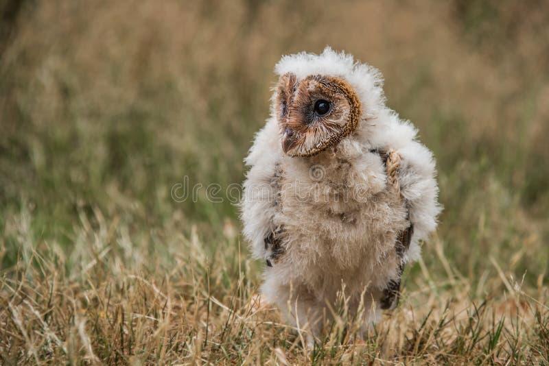 Jeune hibou de grange de Melanisitic photographie stock libre de droits