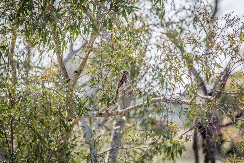 jeune hibou Perle-repéré sur une branche photos stock