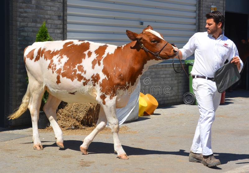 Jeune homme exhibant le pedigree Holstein rouge photo libre de droits