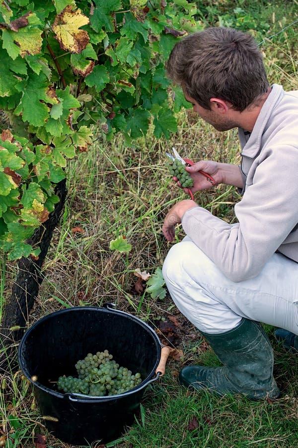 Jeune homme sélectionnant les raisins blancs mûrs photographie stock