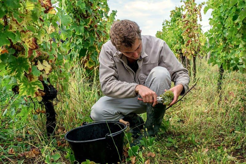 Jeune homme sélectionnant les raisins blancs mûrs photographie stock libre de droits