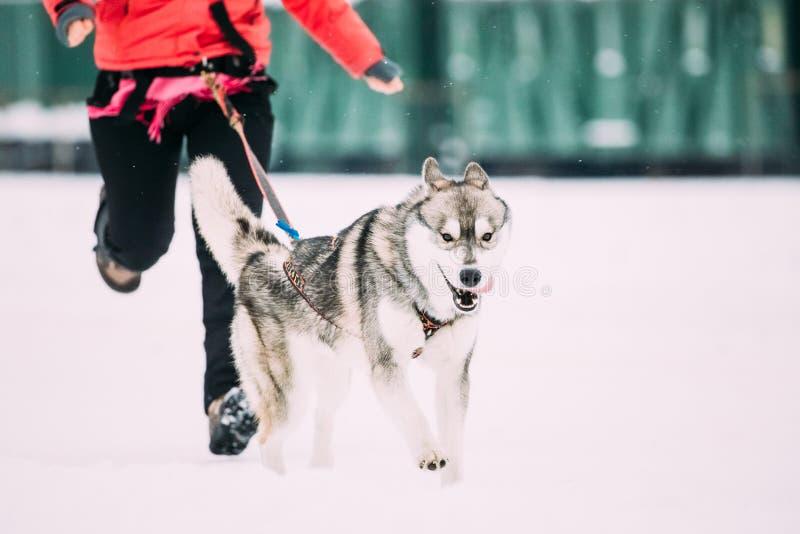 Jeune Husky Dog Runs Ahead Of son propriétaire à la formation courante d'hiver images stock
