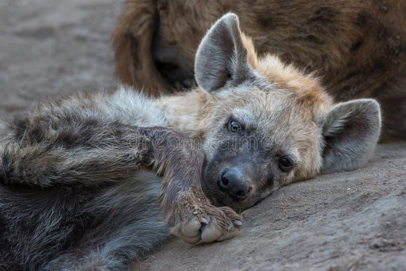 Jeune hyène seule semblant triste images stock