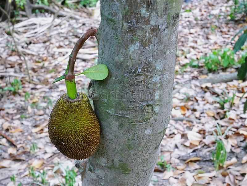 Jeune Jack Fruit en gros plan sur l'arbre image stock