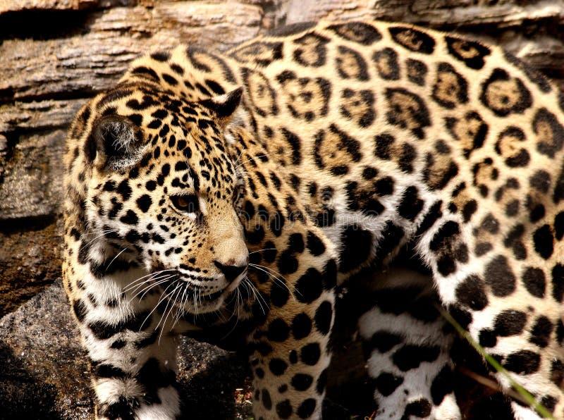 Jeune Jaguar au zoo de Jacksonville, Jacksonville, FL images stock