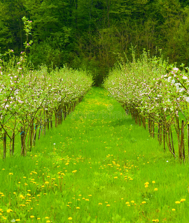 Jeune jardin de pomme dans la fleur photos libres de droits