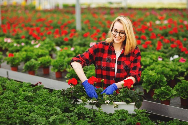 Jeune jardinier f?minin dans les gants fonctionnant en serre chaude, plantant et prenant soin des fleurs images libres de droits