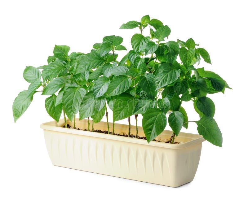 Jeune jeune plante de paprika d'isolement sur le fond blanc images libres de droits