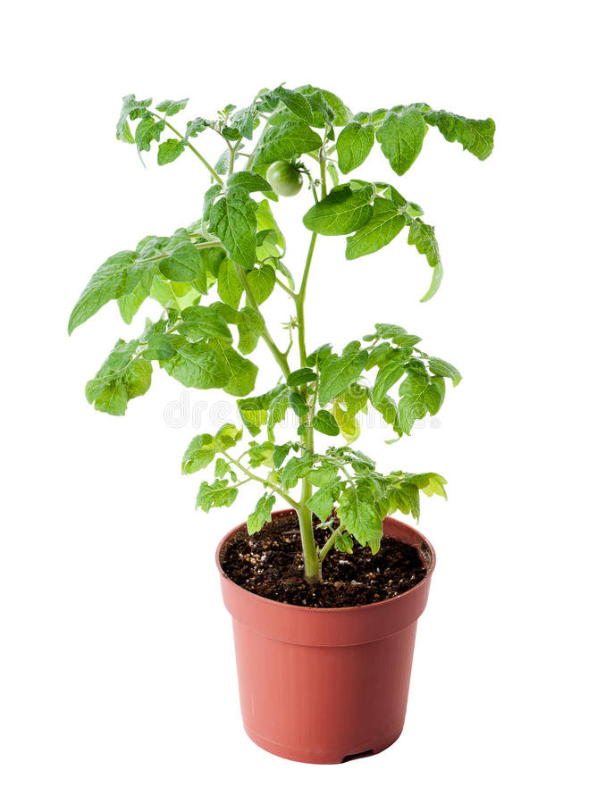 Jeune jeune plante de tomate d'isolement sur le fond blanc photo stock