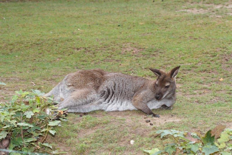 Jeune kangourou rouge australien femelle se reposant dans l'herbe photographie stock