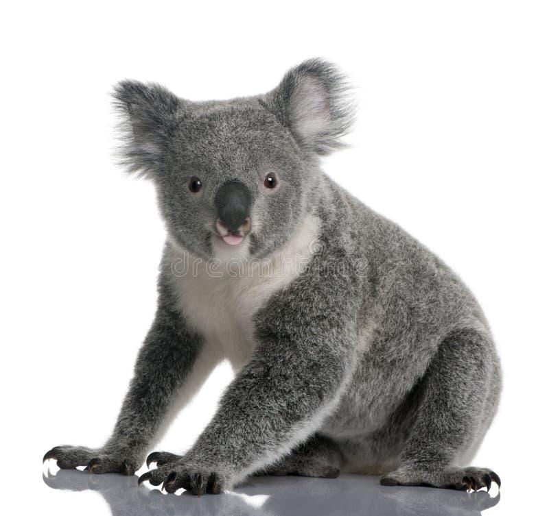 Jeune koala, cinereus de Phascolarctos, 14 mois images libres de droits