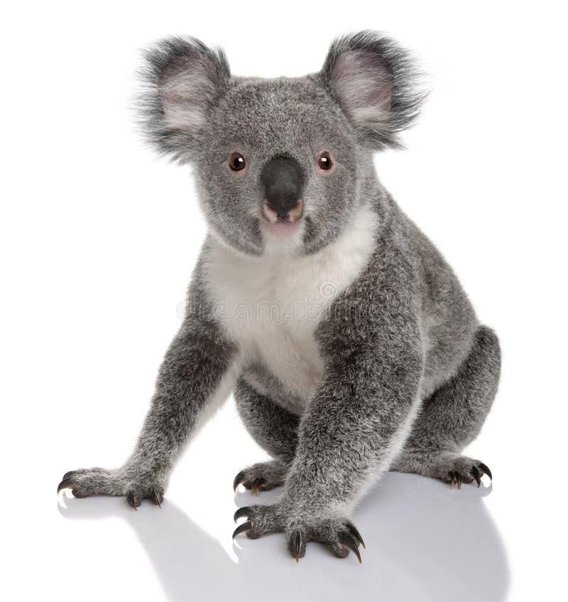Jeune koala, cinereus de Phascolarctos, 14 mois image stock
