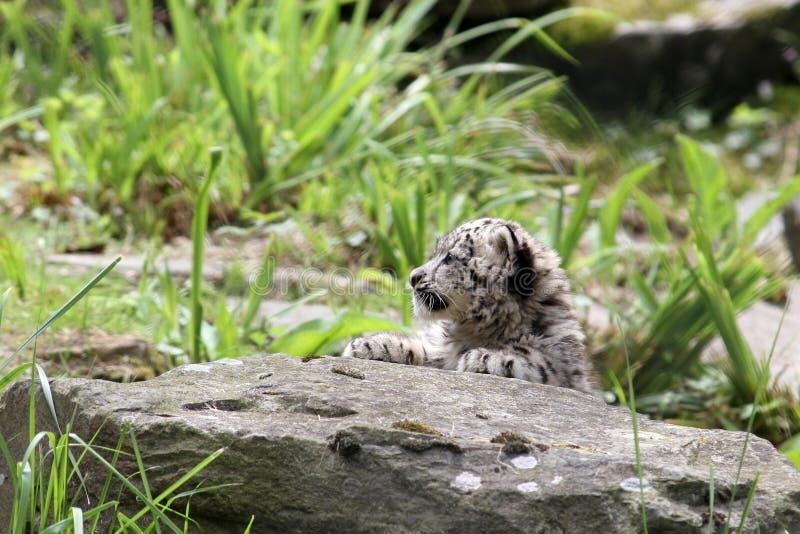 Jeune léopard de neige photos libres de droits