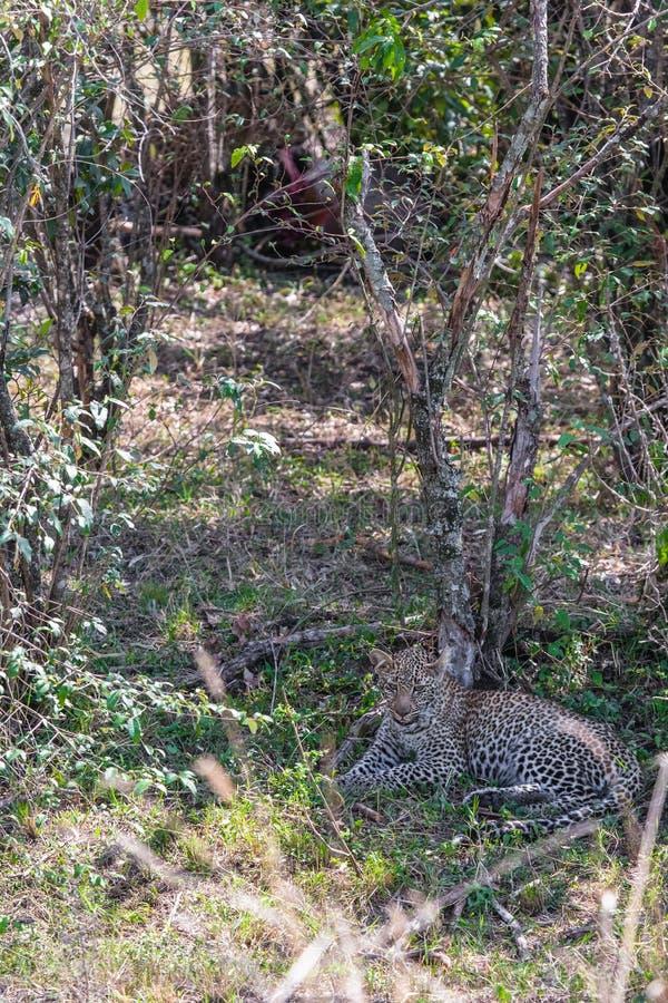Jeune léopard se reposant à la nuance d'une fin d'arbre  Le Kenya, Afrique photographie stock