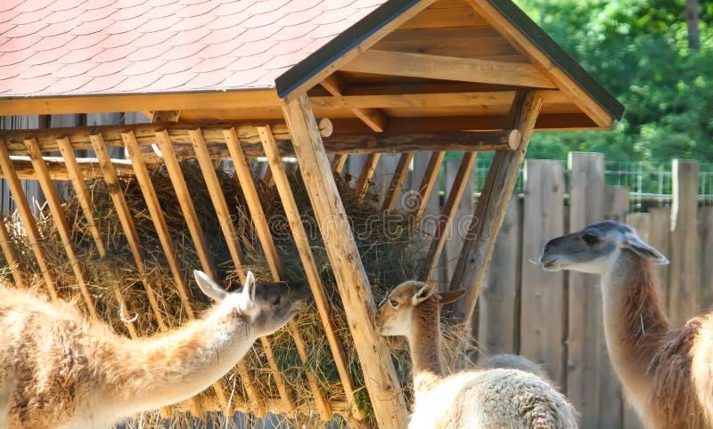 Jeune lama mangeant le foin dans le jardin zoologique image stock