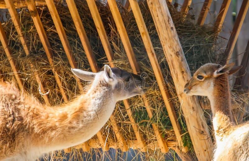 Jeune lama mangeant le foin dans le jardin zoologique photographie stock libre de droits