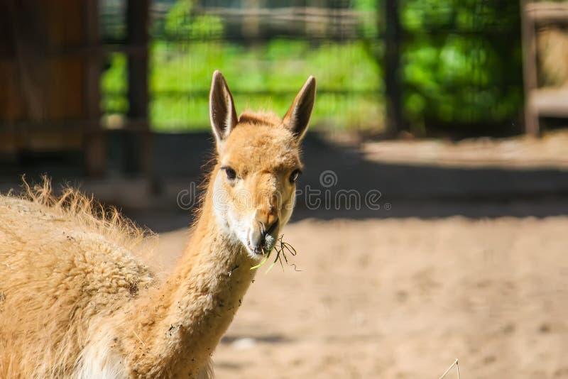 Jeune lama mangeant le foin dans le jardin zoologique dehors photographie stock