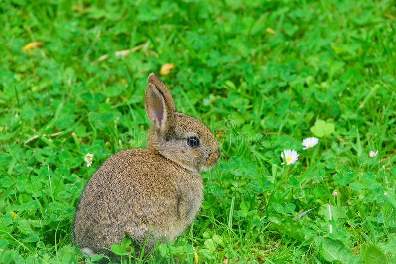 Jeune lapin photographie stock