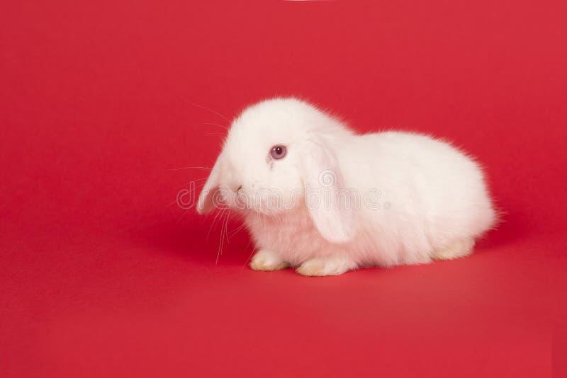 Jeune lapin blanc mignon sur un fond rouge images stock