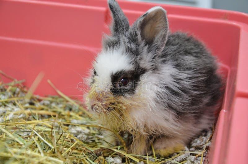 Jeune lapin négligé et malade avec l'infection respiratoire supérieure à une clinique vétérinaire photo libre de droits