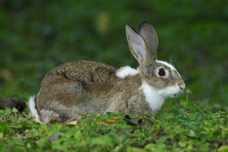Jeune lapin se reposant avec des oreilles de rondin dans l'habitat naturel, herbe verte images libres de droits