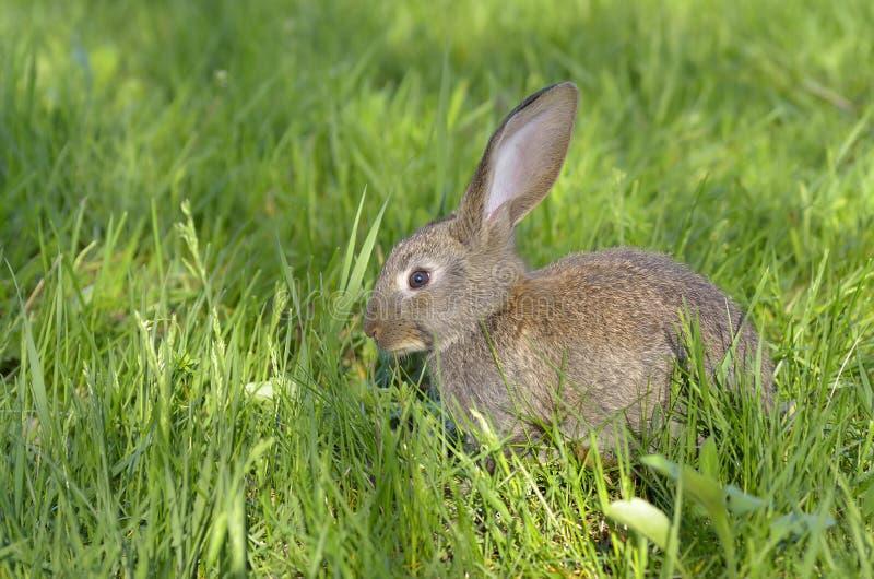 Jeune lapin sur le champ photo libre de droits