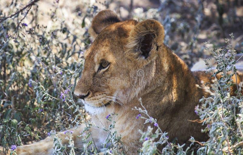 Jeune lion établissant le regard à la gauche du tir image stock