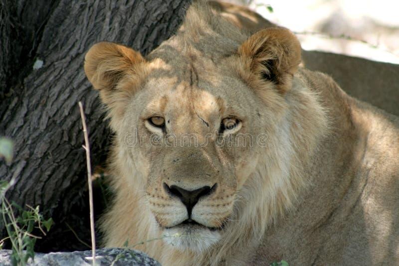 Jeune lion africain photo stock
