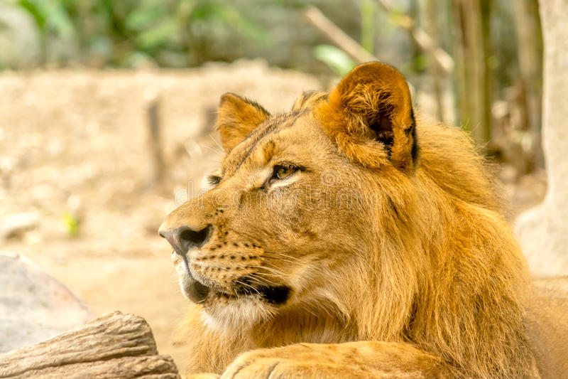 Jeune lion beau puissant images stock