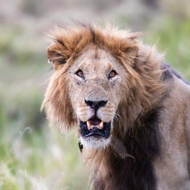 Jeune lion de mâle adulte dans le masai Mara photos stock