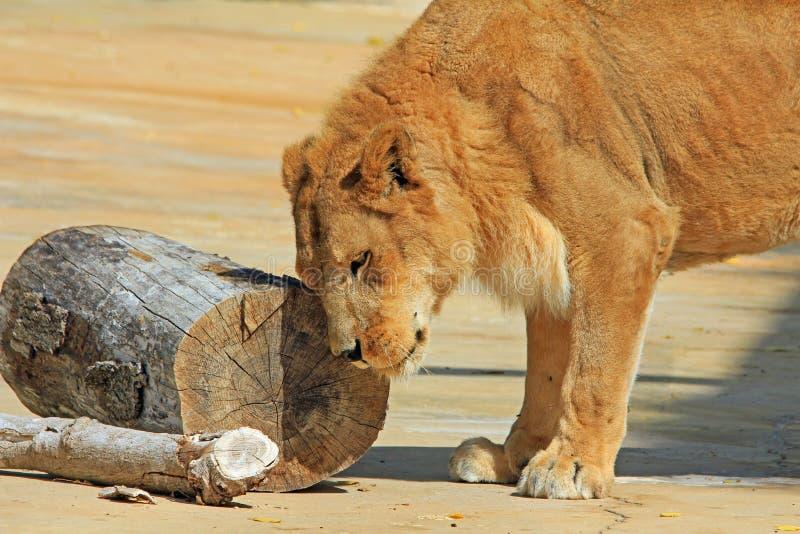 Jeune lion frottant sa tête images stock