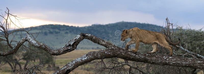 Jeune lion marchant sur une branche, Serengeti, Tanzanie photographie stock libre de droits
