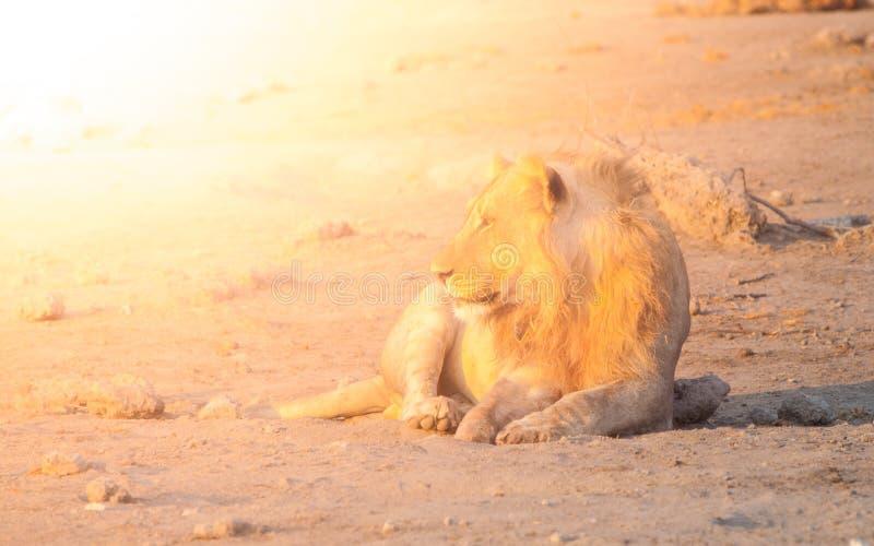 Jeune lion masculin ayant un repos sur la terre poussiéreuse au temps de coucher du soleil, parc national d'Etosha, Namibie, Afri photographie stock