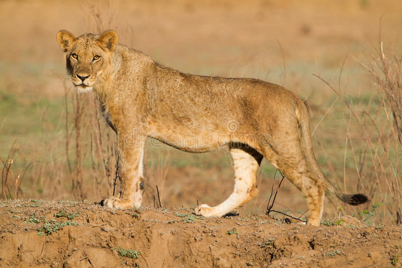 Jeune lion masculin et x28 ; Leo& x29 de Panthera ; regarder l'appareil-photo photographie stock