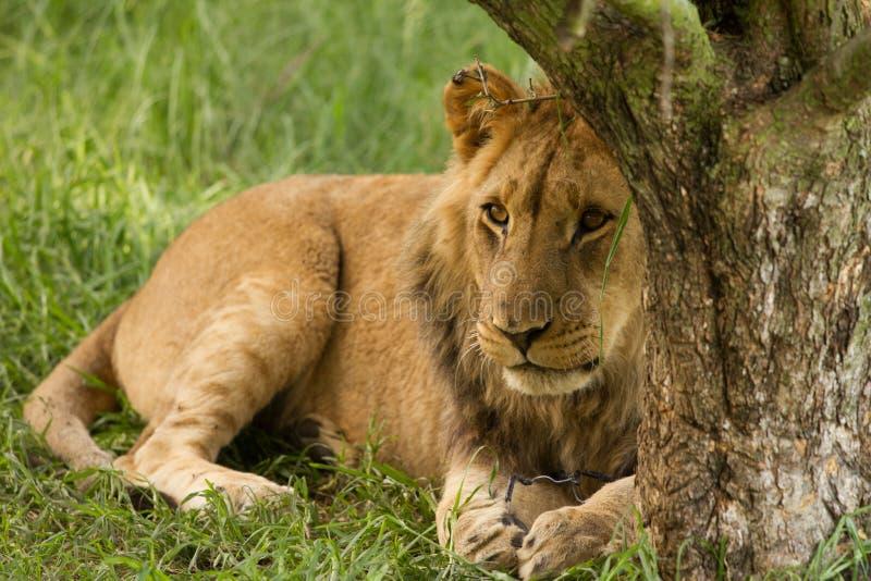 Jeune lion tout de câble vers le haut photos libres de droits