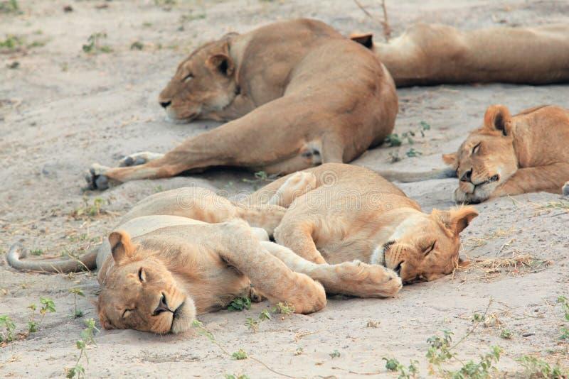 Jeune lionne se reposant et dormant sur la savane africaine photos libres de droits