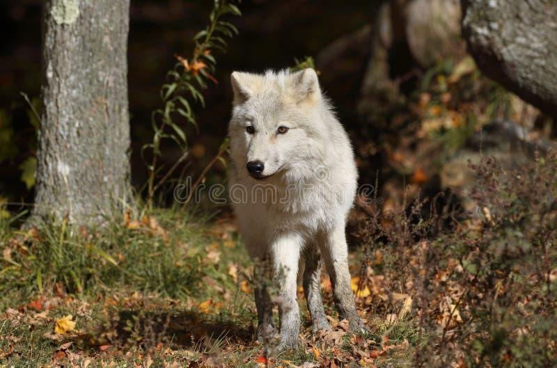 Jeune loup arctique images stock