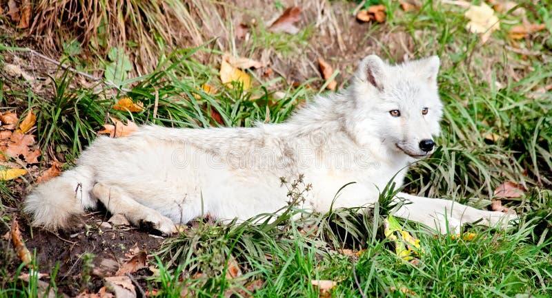 Jeune loup arctique se couchant photographie stock libre de droits