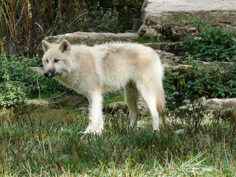 Jeune loup blanc arctique au parc animalier de Sainte Croix en Moselle photos stock