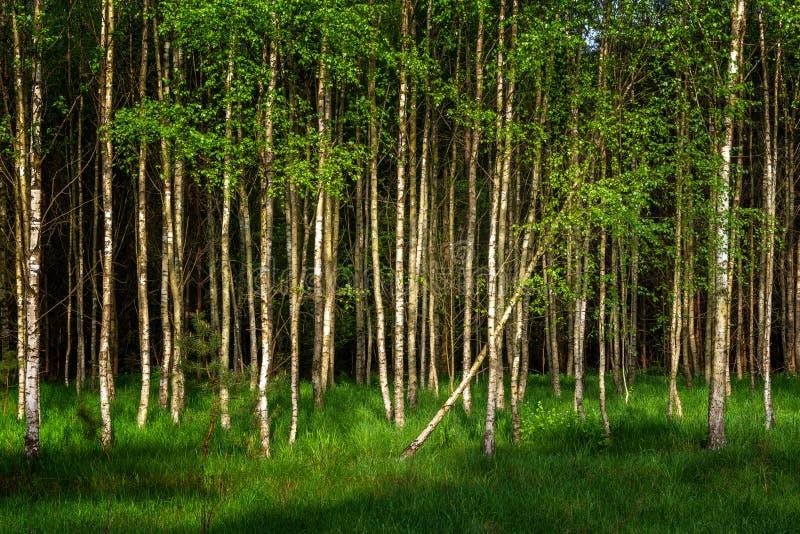 Jeune lumière du soleil d'arbres de bouleau au printemps images libres de droits