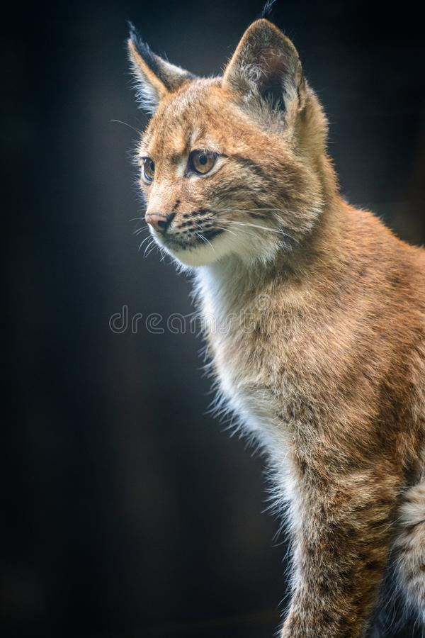 Jeune lynx carpathien photographie stock