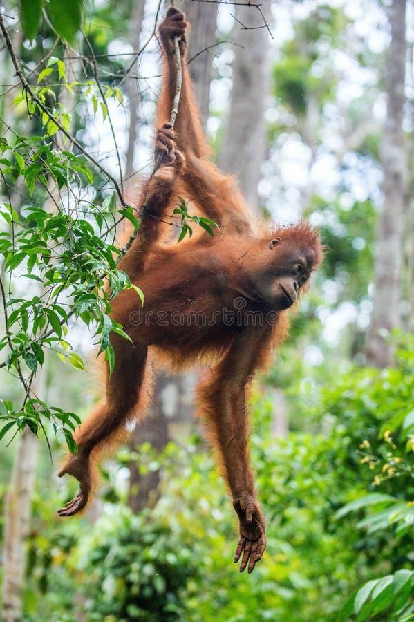 Jeune mâle d'orang-outan de Bornean sur l'arbre dans un habitat naturel photo libre de droits