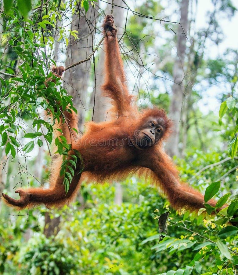Jeune mâle d'orang-outan de Bornean sur l'arbre dans un habitat naturel images libres de droits