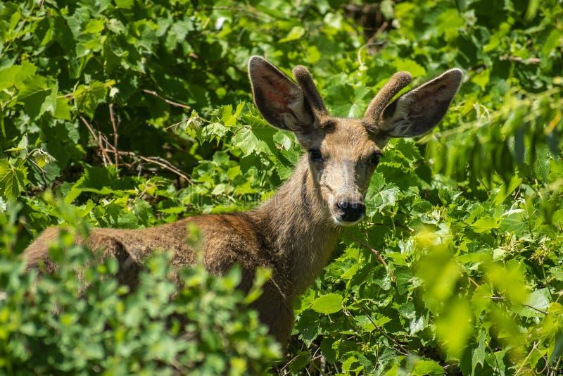 Jeune mâle de cerfs communs de mule en verts feuillus image stock