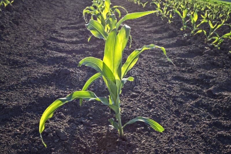 Jeune maïs vert dans le domaine agricole en premier ressort photographie stock