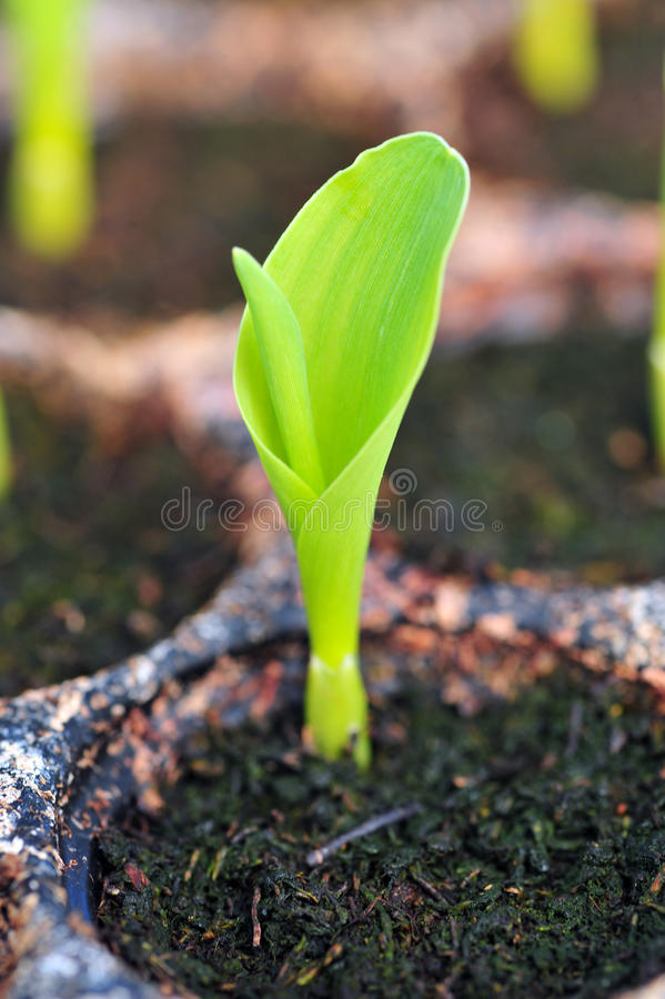 Jeune maïs vert, maïs, jeune plante de maïs dans la cosse pour l'expérience. photo stock
